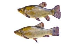 Dois peixes das tencas após a pesca isolados no fundo branco Fotografia de Stock Royalty Free