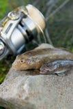 Dois peixes de água doce do peixe-gato ou peixes redondos do góbio apenas tomados de Foto de Stock Royalty Free