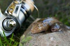 Dois peixes de água doce do peixe-gato ou peixes redondos do góbio apenas tomados de Fotografia de Stock Royalty Free