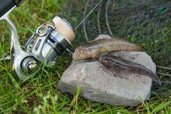 Dois peixes de água doce do peixe-gato ou peixes redondos do góbio apenas tomados de Imagens de Stock Royalty Free