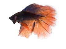 Dois peixes de combate siamese da cor de tom, betta isolados em b branco Foto de Stock Royalty Free