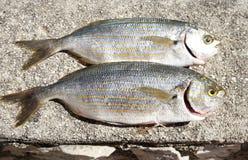 Dois peixes de mar crus Foto de Stock