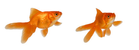 Dois peixes do ouro foto de stock royalty free