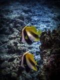 Dois peixes dourados Vida marinha imagem de stock royalty free
