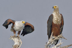 Dois peixes Eagles africanos Fotografia de Stock