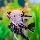 Dois peixes lindos do pterophyllum no aquário Fotos de Stock
