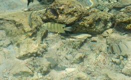 Dois peixes pequenos entre recifes e corais sob o mar Imagem de Stock Royalty Free