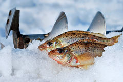 Dois peixes travados Foto de Stock Royalty Free