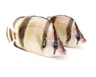 Dois peixes tropicais Imagem de Stock Royalty Free
