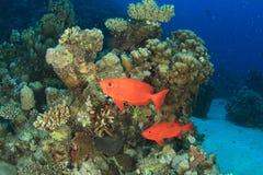 Dois peixes vermelhos no recife de corais com corais duros fotos de stock
