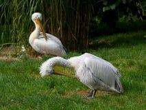 Dois pelicanos Fotos de Stock