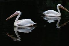 Dois pelicanos Imagem de Stock