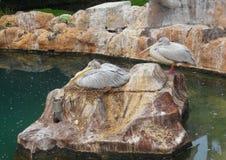 Dois pelicanos Fotografia de Stock Royalty Free
