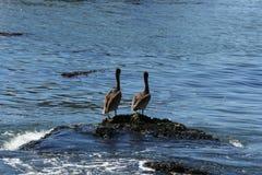 Dois pelicanos Fotos de Stock Royalty Free