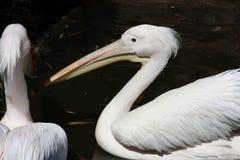 Dois pelicanos brancos fotografia de stock royalty free