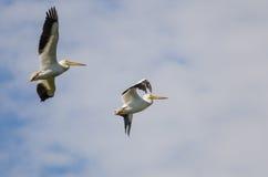 Dois pelicanos brancos americanos que voam em um céu azul nebuloso Fotografia de Stock