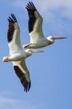 Dois pelicanos brancos americanos que voam em um céu azul nebuloso Imagens de Stock Royalty Free