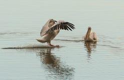 Dois pelicanos brancos na superfície da água Imagens de Stock