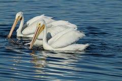 Dois pelicanos brancos que nadam Imagens de Stock