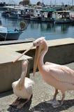 Dois pelicanos cor-de-rosa no porto de Paphos fotografia de stock