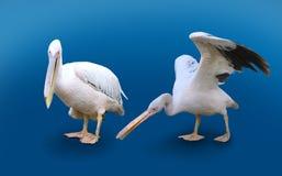 Dois pelicanos isolados no fundo azul Foto de Stock