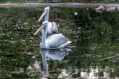 Dois pelicanos nadam no lago imagens de stock