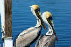 Dois pelicanos novos Foto de Stock Royalty Free