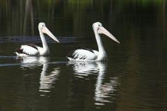 Dois pelicanos - siga o líder Fotografia de Stock Royalty Free