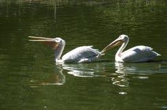 Dois pelicanos um após outro Imagens de Stock Royalty Free