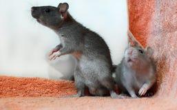 Dois pequenos poucos ratos em uma toalha fotos de stock royalty free