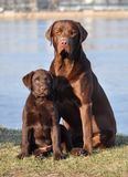Dois perdigueiros de Labrador no verão Foto de Stock