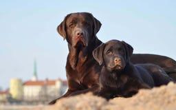 Dois perdigueiros de Labrador no verão Imagens de Stock