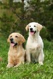 Dois perdigueiros dourados dos cães Fotografia de Stock