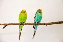 Dois periquitos australianos que sentam-se no galho imagens de stock
