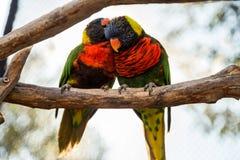 Dois periquitos empoleirados junto em uma árvore Fotografia de Stock
