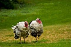 Dois perus em um campo Foto de Stock Royalty Free