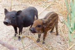 Dois piggies atrativos como um símbolo do sim 2019 Fotografia de Stock Royalty Free