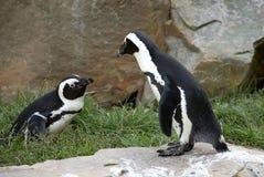 Dois pinguins fotos de stock royalty free