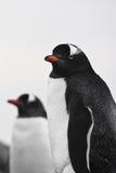 Dois pinguins foto de stock