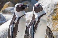 Dois pinguins africanos fotos de stock