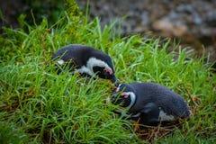 Dois pinguins africanos imagens de stock royalty free