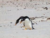 Dois pinguins de Gentoo foto de stock