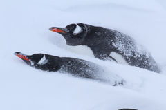 Dois pinguins de Gentoo na neve Fotografia de Stock