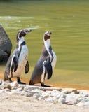 Dois pinguins de Humboldt fotos de stock royalty free