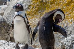 Dois pinguins de Jackass fotos de stock royalty free
