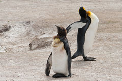 Dois pinguins de rei na praia Fotos de Stock Royalty Free