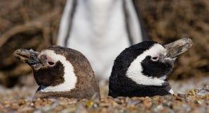 Dois pinguins em um furo Retrato engraçado argentina Península Valdes Fotografia de Stock