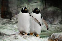 Dois pinguins estão estando de lado a lado esposos, um casal ou os pinguins secundário-antárticos bonitos gordos dos amigos estão fotografia de stock