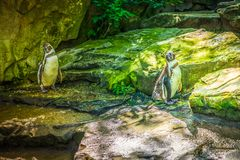 Dois pinguins que sittting nas rochas fotos de stock royalty free