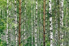 Dois pinheiros no bosque do vidoeiro fotografia de stock royalty free